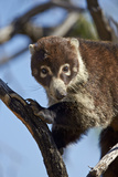 White-Nosed Coati (Nasua Narica) in a Tree