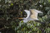 An Adult Eastern Great Egret (Ardea Alba) in Flight on the Daintree River