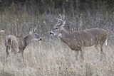 Two White-Tailed Deer (Whitetail Deer) (Virginia Deer) (Odocoileus Virginianus) Bucks