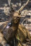 Adult Buck Timor Rusa Deer (Cervus Timorensis)  Komodo National Park  Komodo Island  Indonesia