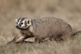 Badger (Taxidea Taxus) Digging