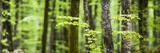 Pine Forest at Lake Bohinj  Triglav National Park  Julian Alps  Slovenia  Europe