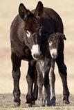 Wild Burro (Donkey) (Equus Asinus (Equus Africanus Asinus) Jenny and Foal
