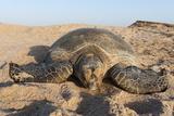 Green Turtle  Ras Al Jinz  Oman
