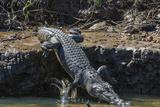 An Adult Wild Saltwater Crocodile (Crocodylus Porosus) on the Banks of the Daintree River