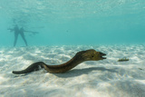 Yellowmargin Moray Eel (Gymnothorax Flavimarginatus) Underwater on Pink Sand Beach