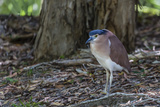 An Adult Nankeen Night Heron (Nycticorax Caledonicus) on the Banks of the Daintree River
