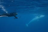 Adult Dwarf Minke Whale (Balaenoptera Acutorostrata)