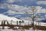 Bare Cottonwood Tree in the Snow