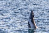 Humpback Whale (Megaptera Novaeangliae) Calf Breaching in Yampi Sound  Kimberley  Western Australia
