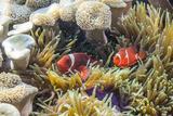 A Pair of Spinecheek Anemonefish (Premnas Biaculeatus)