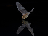 Southwestern Myotis (Myotis Auriculus) in Flight About to Take a Drink