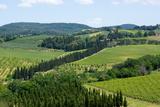 Vineyards and Cypress Trees  Chianti Region  Tuscany  Italy  Europe