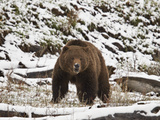 Grizzly Bear (Ursus Arctos Horribilis) in the Snow in the Spring