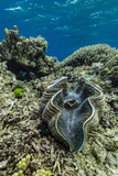 Underwater View of Giant Clam (Tridacna Spp)