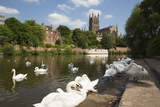Swans Beside the River Severn and Worcester Cathedral  Worcester  Worcestershire  England