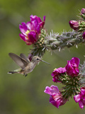 Female Broad-Tailed Hummingbird (Selasphorus Platycercus) Feeding at a Walkingstick (Cane) Cholla