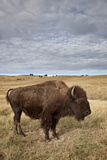 Bison (Bison Bison) Cow  Custer State Park  South Dakota  United States of America  North America
