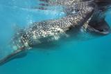 Whale Shark (Rhincodon Typus)  Oslob  Cebu  the Visayas  Philippines  Southeast Asia  Asia