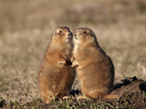 Two Black-Tailed Prairie Dog (Blacktail Prairie Dog) (Cynomys Ludovicianus)
