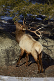 Bull Elk (Cervus Canadensis) Eating Pine Needles