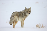 Coyote (Canis Latrans) in the Snow
