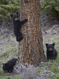 Three Black Bear (Ursus Americanus) Cubs of the Year
