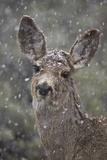 Young Mule Deer (Odocoileus Hemionus) in a Snow Storm in the Spring