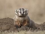 Badger (Taxidea Taxus)  Custer State Park  South Dakota  United States of America  North America
