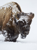 Bison (Bison Bison) Bull Covered with Snow in the Winter