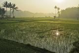 Rice Field  Near Borobodur  Kedu Plain  Java  Indonesia  Southeast Asia  Asia