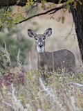 White-Tailed Deer (Whitetail Deer) (Virginia Deer) (Odocoileus Virginianus) Doe