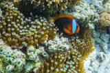 Anemonefish in Anemone on Underwater Reef on Jaco Island  Timor Sea  East Timor  Asia