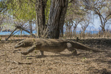 Adult Komodo Dragon (Varanus Komodoensis) in Komodo National Park  Komodo Island  Indonesia