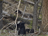 Black Bear (Ursus Americanus) Sow and Three Cubs of the Year
