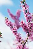 Spring Cherry Blossom Festival  Jinhei  South Korea  Asia