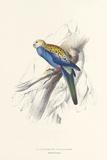 Pale Headed Parakeet