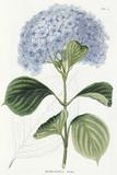 Hydrangea Otaksa