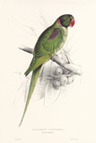 Hooded Parakeet