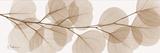 Sepia Kaluptos Eucalyptus