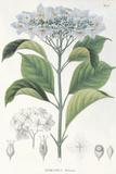 Hydrangea Belizonii Giclée par The Vintage Collection