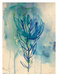 Blue Wash Protea