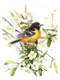 Baltimore Oriole 3