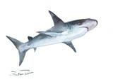 Shark 2