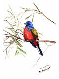 Painted Bunting 2