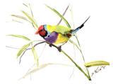 Gauldian Finch