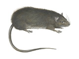 Greater Bandicoot Rat