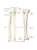 Bones of the Forearm and Lower Leg
