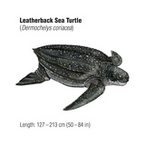 Leatherback Sea Turtle (Dermochelys Coriacea)  an Endangered Species