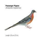 Passenger Pigeon (Ectopistes Migratorius)